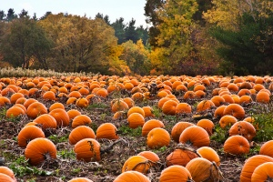 autumn pumpkin field - photo credit Liz West