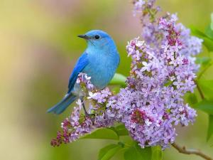 bluebird and lilacs