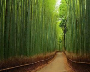 birch wood path