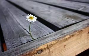 daisy growing through difficulties