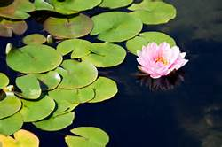 lily-and-lily-pads-mindful